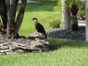 TGO Nature Center, Nature, birds, crested caracara, education, education series