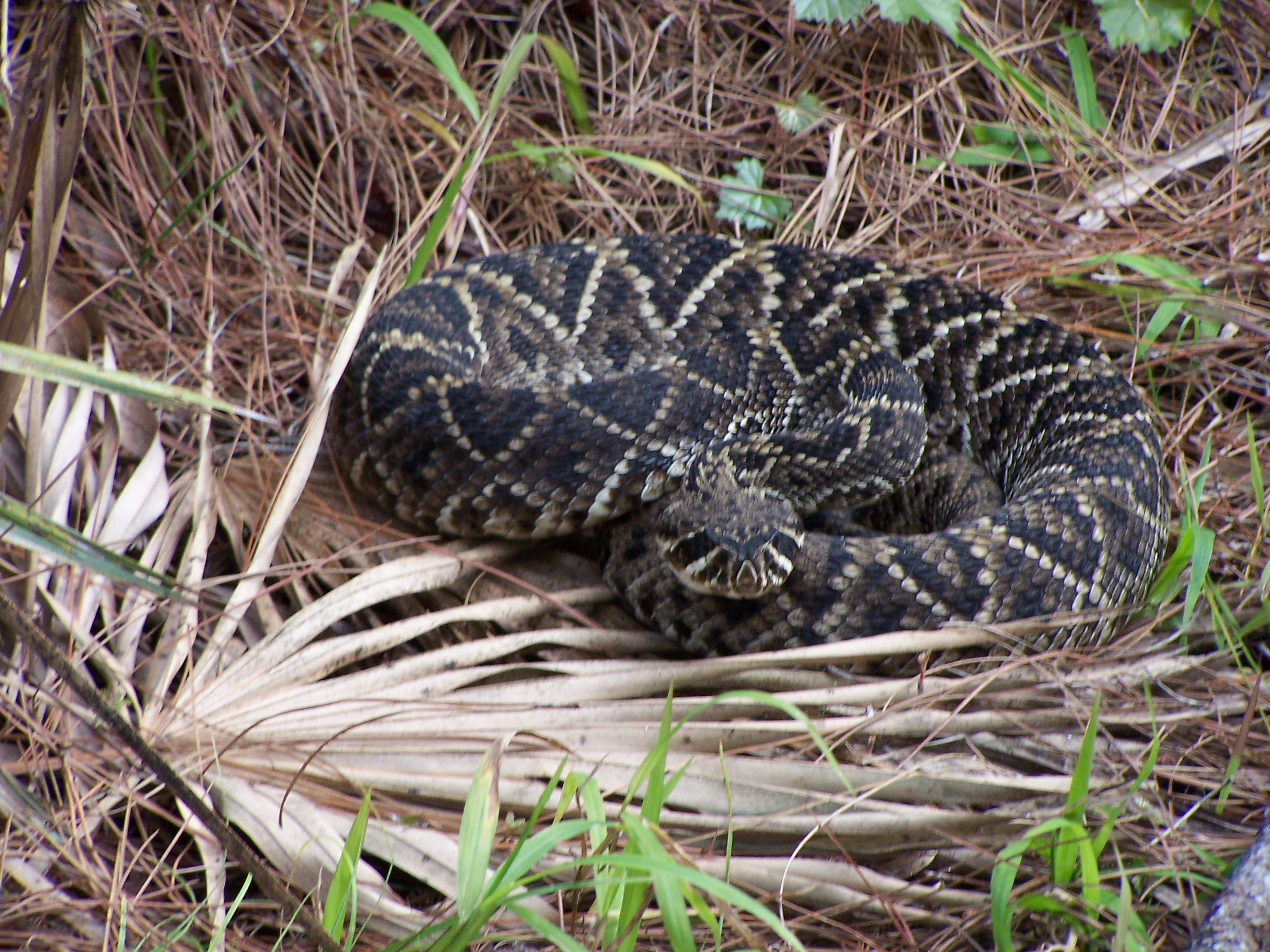 Eastern Diamondback Rattlesnake Photo Album | TGO Nature Center