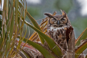 TGO Nature Center, Nature, The Great Outdoors, Titusville, Florida, Education, Bird, Great Horned Owl, Photo Album