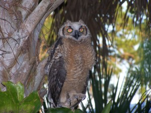 TGO Nature Center, Nature, The Great Outdoors, Titusville, Florida, Education, Birds, Great Horned Owl, Oak Cove, Owl, Owlet, Photo Album