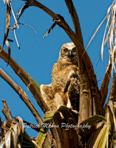 TGO Nature Center, Nature, The Great Outdoors, Titusville, Florida, Education, Birds, Great Horned Owl, Oak Cove, Owl, Owlet, Nest, Photo Album