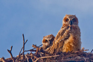 TGO Nature Center, Nature, The Great Outdoors, Titusville, Florida, Education, Birds, Great Horned Owl, Maintenance Yard, Owl, Owlet, Nest, Photo Album