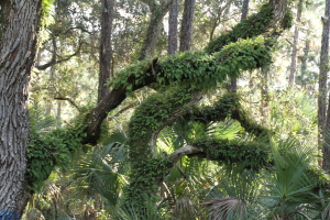 TGO Nature Center, Nature, Education, Titusville, Florida, Plants, Resurrection Fern, Fern