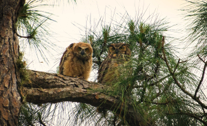 TGO Nature Center, Nature, The Great Outdoors, Titusville, Florida, Education, Birds, Maintenance Yard, Owl, Owlet, Nest, Photo Album