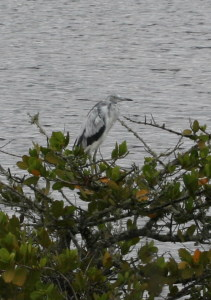 TGO Nature Center, Nature, The Great Outdoors, Titusville, Florida, Education, Birds, Little Blue Heron, Blue, Heron, White Bird, First Year, Photo Album