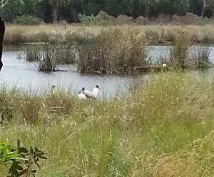 TGO Nature Center, Nature, The Great Outdoors, Titusville, Florida, Education, Birds, Wood Stork, Stork, Photo Album
