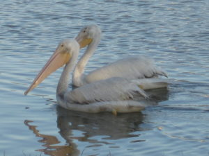 TGO Nature Center, Nature, The Great Outdoors, Titusville, Florida, TGO, Education, Birds, American White Pelican, White Pelican, Pelican, Photo Album