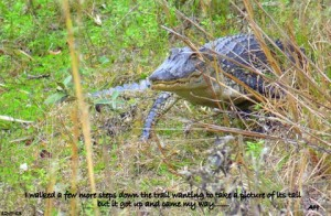 TGO Nature Center, Nature, The Great Outdoors, Titusville, Florida, Education, Reptile, Alligator, American Alligator, Close, Encounter, Photo Album