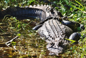 TGO Nature Center, Nature, The Great Outdoors, Titusville, Florida, Education, Reptile, Alligator, Gator, Photo Album