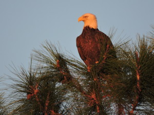 TGO Nature Center, Nature, The Great Outdoors, Titusville, Florida, Bird, Bald Eagle, Eagle, Photo Album