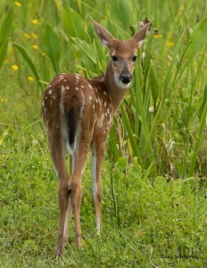 TGO Nature Center, Nature, The Great Outdoors, Titusville, Florida, Education, Mammal, White Tailed Deer, Deer, Fawn, Photo Album