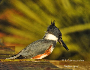 TGO Nature Center, Nature, The Great Outdoors, Titusville, Florida, Education, Birds, Belted Kingfisher, Kingfisher, Photo Album