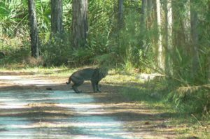 TGO Nature Center, Nature, The Great Outdoors, Titusville, Florida, TGO, Mammal, Bobcat, Photo Album