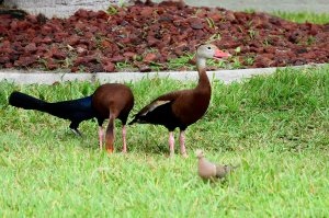 TGO Nature Center, Nature, The Great Outdoors, Titusville, Florida, Education, Bird, Black Bellied Whistling Duck, Photo Album