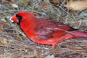 TGO Nature Center, Nature, The Great Outdoors, Titusville, Florida, Education, Birds, Northern Cardinal, Cardinal, Songbird, Photo Album