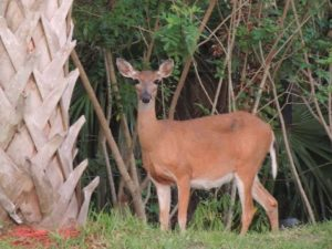 TGO Nature Center, Nature, The Great Outdoors, Titusville, Florida, TGO, Mammal, Deer, White Tailed, Doe, Fawn, Triplets, Photo Album