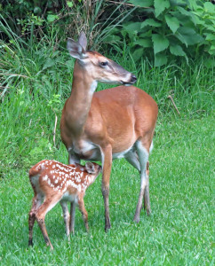 TGO Nature Center, Nature, The Great Outdoors, Titusville, Florida, Education, Mammal, White Tailed Deer, Deer, Fawn, Doe, Photo Album