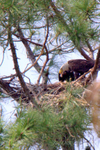 TGO Nature Center, Nature, The Great Outdoors, Titusville, Florida, Education, Birds, Bald Eagle, Eagle, Eaglet, Nest, Photo Album