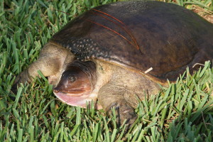 TGO Nature Center, Nature, Education, Reptiles, Florida Softshell Turtle, Turtle, Softshell, Photo Album