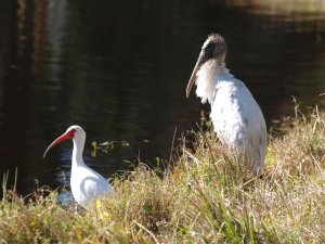 TGO Nature Center, Nature, The Great Outdoors, Titusville, Florida, Education, Bird, Wood Stork, Ibis, Photo Album