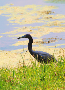 TGO Nature Center, Nature, The Great Outdoors, Titusville, Florida, Education, Birds, Littel Blue Heron, Heron, Photo Album
