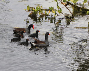 TGO Nature Center, Nature, The Great Outdoors, Titusville, Florida, Education, Birds, Common Moorhen, Moorhen, Chicks, Photo Album