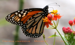 TGO Nature Center, Nature, The Great Outdoors, Titusville, Florida, Education, Insect, Monarch, Butterfly, Butterflies, Photo Album