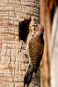 TGO Nature Center, Nature, The Great Outdoors, Titusville, Florida, Education, Bird, Northern Flicker, Flicker, Photo Album