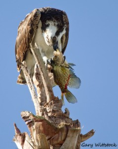 TGO Nature Center, Nature, The Great Outdoors, Titusville, Florida, Education, Birds, Bird, Osprey, Fish, Photo Album