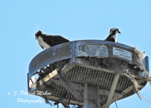 TGO Nature Center, Nature, The Great Outdoors, Titusville, Florida, Education, TGO, Birds, Osprey, Photo Album