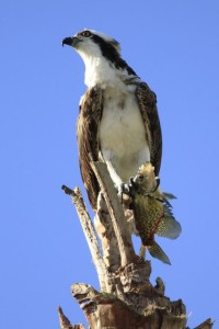 TGO Nature Center, Nature, The Great Outdoors, Titusville, Florida, Education, Bird, Osprey, Photo Album
