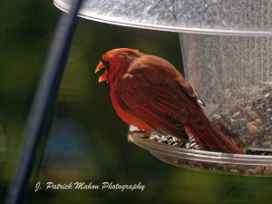 TGO Nature Center, Nature, The Great Outdoors, Titusville, Florida, Education, Birds, Northern Cardinal, Cardinal, Red Bird, Photo Album