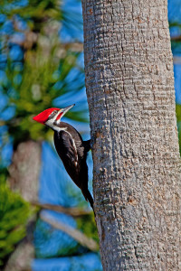 TGO Nature Center, Nature, The Great Outdoors, Titusville, Florida, Education, Bird, Pileated Woodpecker, Woodpecker, Red Head, Photo Album
