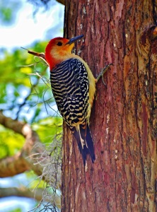 TGO Nature Center, Nature, The Great Outdoors, Titusville, Florida, Education, Bird, Woodpecker, Red Bellied Woodpecker, Photo Album