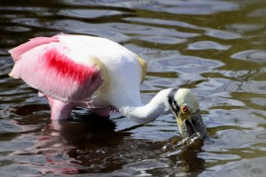 TGO Nature Center, Nature, The Great Outdoors, Titusville, Florida, Education, Birds, Bird, Roseate Spoonbill, Spoonbill, Pink Bird, Photo Album