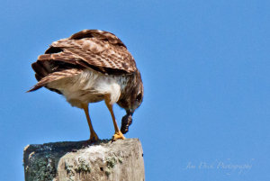 TGO Nature Center, Nature, The Great Outdoors, Titusville, Florida, Education, Birds, Sharp Shinned Hawk, Hawk, Photo Album