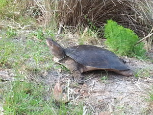 TGO Nature Center, Nature, The Great Outdoors, Titusville, Florida, Education, TGO, Reptile, Softshell Turtle, Turtle, Photo Album