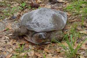 TGO Nature Center, Nature, The Great Outdoors, Titusville, Florida, Education, Reptile, Softshell Turtle, Turtle, Photo Album