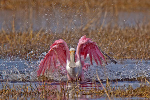 TGO Nature Center, Nature, The Great Outdoors, Titusville, Florida, Education, TGO, Bird, Roseate Spoonbill, Spoonbill, Pink Bird, Photo Album