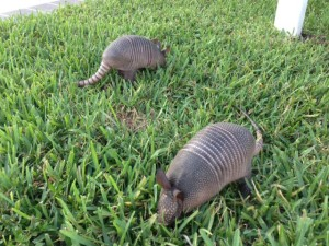 TGO Nature Center, Nature, The Great Outdoors, Titusville, Florida, Education, Mammal, Armadillo, Young, Baby, Photo Album