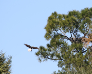 TGO Nature Center, Nature, The Great Outdoors, Titusville, Florida, Education, Bird, Bald Eagle, Eagle, Photo Album