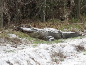 TGO Nature Center, Nature, The Great Outdoors, Titusville, Florida, TGO, Reptile, Alligator, American Alligator, Gator, Photo Album