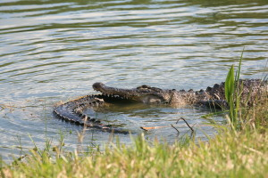 TGO Nature Center, Nature, The Great Outdoors, Titusville, Florida, Education, Reptile, American Alligator, Alligator, Gator, Encounter, Photo Album