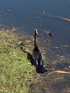 TGO Nature Center, Nature, The Great Outdoors, Titusville, Florida, TGO, Bird, Anhinga, Photo Album