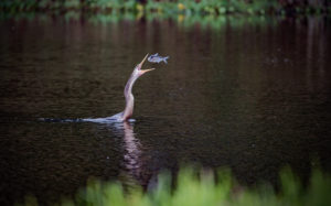 TGO Nature Center, Nature, The Great Outdoors, Titusville, Florida, Bird, Anhinga, Photo Album
