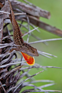 TGO Nature Center, Nature, Education, TGO, Reptiles, Brown Anole, Anole, Lizard, Photo Album