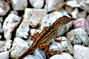 TGO Nature Center, Nature, Education, Reptiles, Brown Anole, Anole, Photo Album