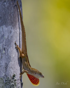 TGO Nature Center, Nature, TGO, Reptiles, Brown Anole, Anole, Lizard, Photo Album