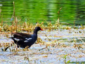 TGO Nature Center, Nature, The Great Outdoors, Titusville, Florida, TGO, Birds, Common Moorhen, Common Gallinule, Moorhen, Gallinule, Photo Album