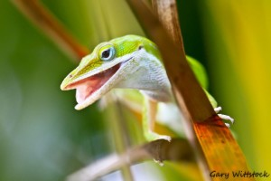 TGO Nature Center, Nature, The Great Outdoors, Titusville, Florida, Education, Reptile, Green, anole, lizard, Photo Album